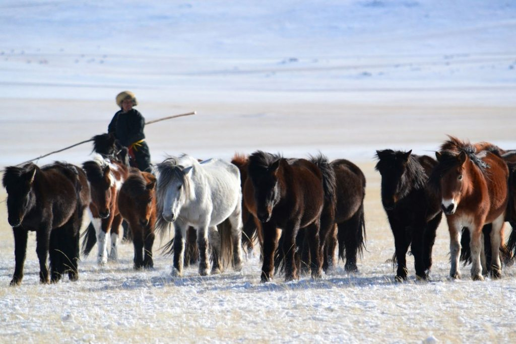 Mongolian winter horses with herder