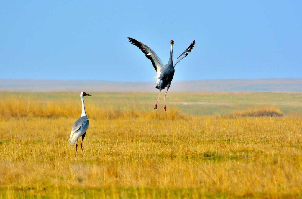 crane Birds mongolia