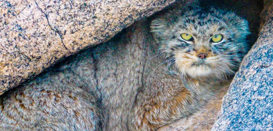 manuul Pallas's cat mongolia